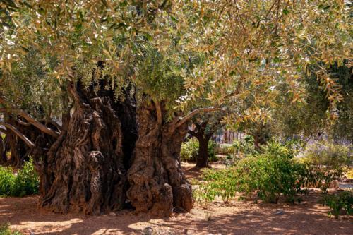 Ogród Oliwny, Getsemani